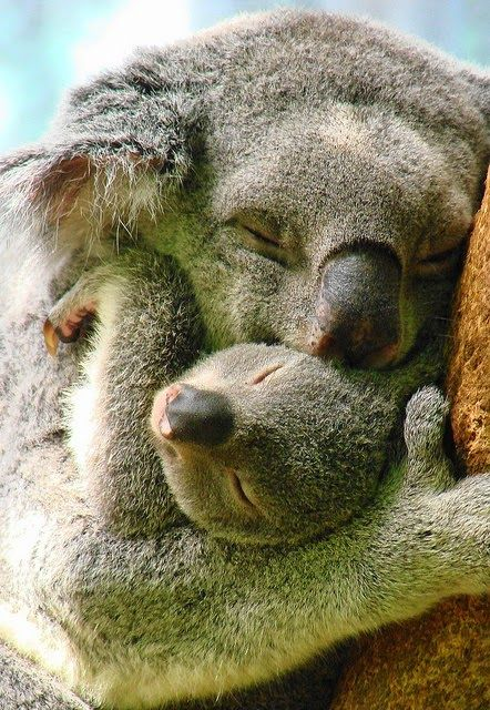 Koala Snuggle✖️Happy Easter ✖️More Pins Like This One At FOSTERGINGER @ Pinterest✖️