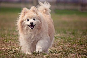 Top Methods to Successfully Train Pomeranian Dogs