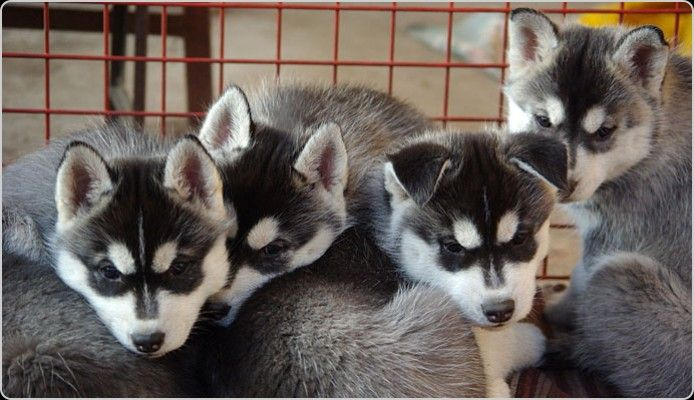 Pin By Husky Mom On Dogs And Cats Mostly Dogs Siberian Husky