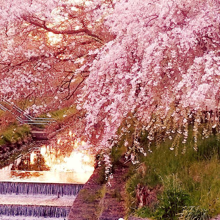 ❤新河岸川の桜,川越氷川神社,満開,開花,埼玉,,桜,cherryblossom,sakura,japan