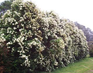 Lemon Myrtle - LOVE this plant. Native to the Eastern States of Australia - but we will give it a try!