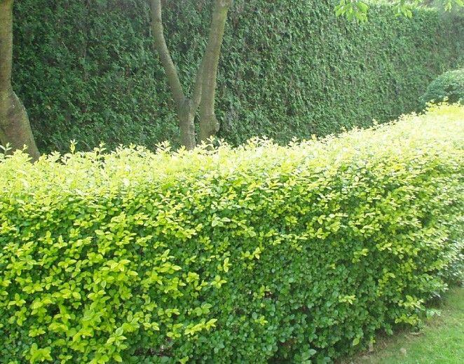 Ligustrum ovalifolium (Ligusterhaag), groeit erg snel. Mooi vol. In zachte winters groenblijvend. Wordt veel toegepast, sterke haagplant, minimaal twee keer per jaar snoeien