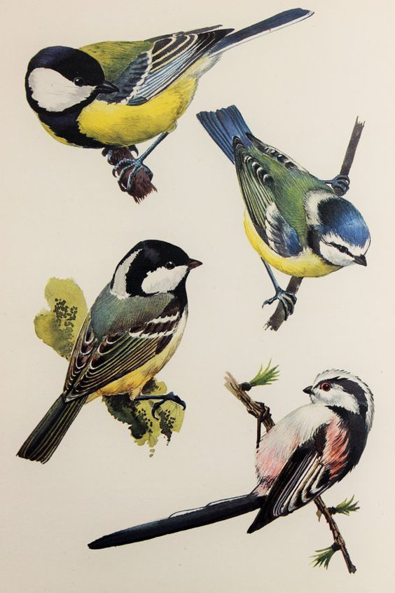 Illustration by Charles Tunnicliffe.