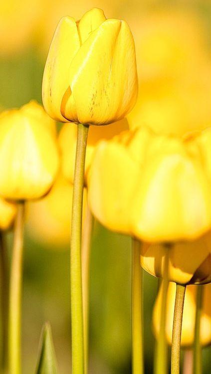#amarillo #yellow Color Malibu. Ron de coco Malibu www.facebook.com/malibuespana Yellow such a pretty color.  Maybe mixed with white and a touch do green.
