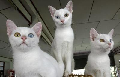 Thai Cat: Eye Cat, Cat Eye, Thai Cat, Colors Diamonds, Khao Mane, Cat Life, Cat Cat, White Cat, Cat Lady