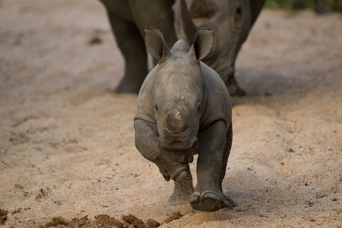 Londolozi's happiest rhino. This little calf is a sheer delight to watch, and this morning was no exception, as its antics in the Maxabene riverbed had us all in stitches! Photograph by James Tyrrell