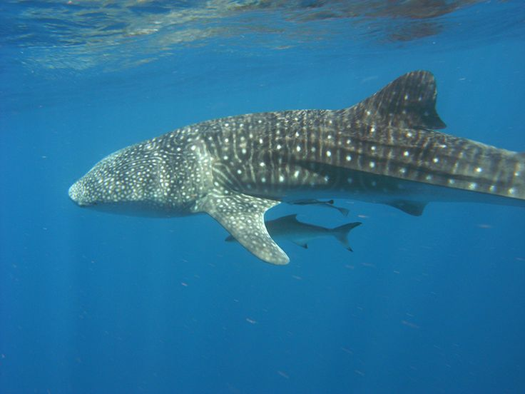 Snorkelling with these great whale sharks - where are we?