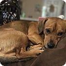 Alexandria, VA - Chihuahua. Meet Nikoo, a for adoption. http://www.adoptapet.com/pet/18197253-alexandria-virginia-chihuahua-mix