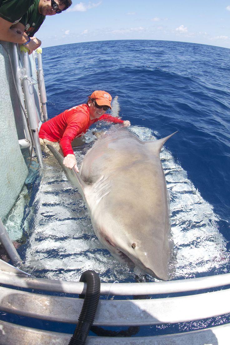 Tiburón toro gigante sorprende a los investigadores - Giant Bull Shark Surprises Researchers