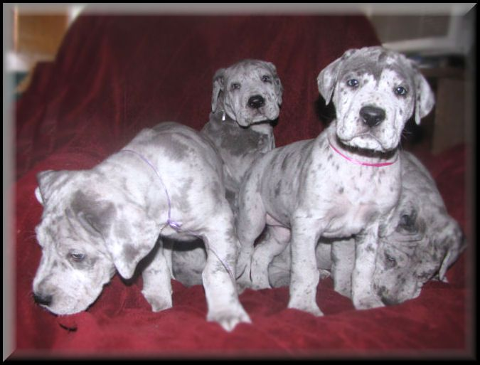 Prices And Information Great Dane Puppies In Arkansas 8 Different