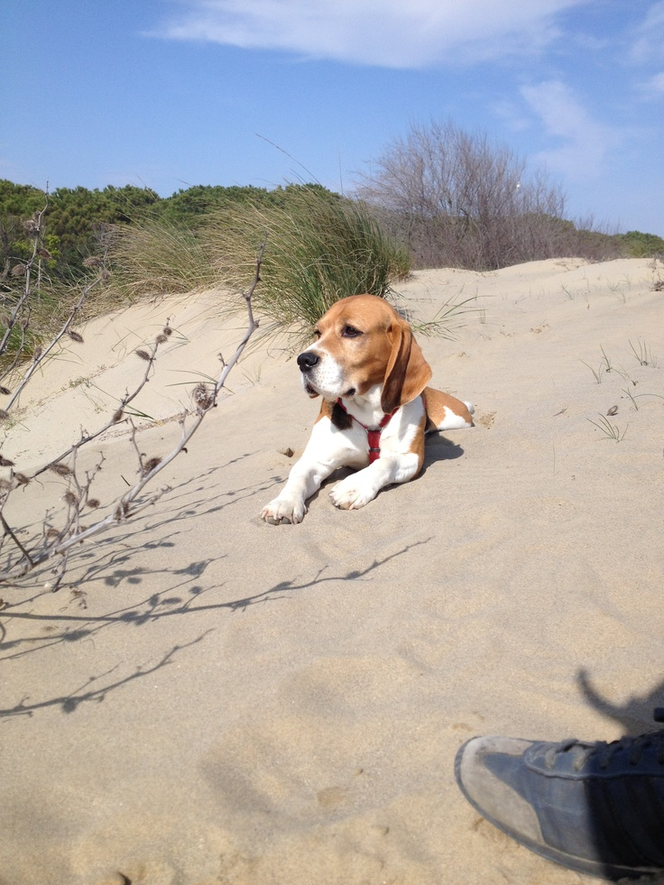 30 Best Beagles Rule Images On Pinterest Funny Animals