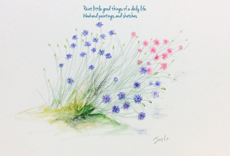 Cornflowers 2 Watercolour pencils Language of flower: delicacy, refinement