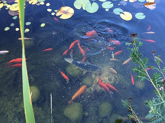 12 best build a garden pond water garden images on for Koi goldfish care