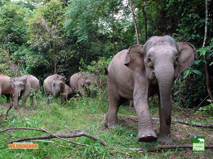 Borneo pygmy elephants | Vagabonding | Pinterest