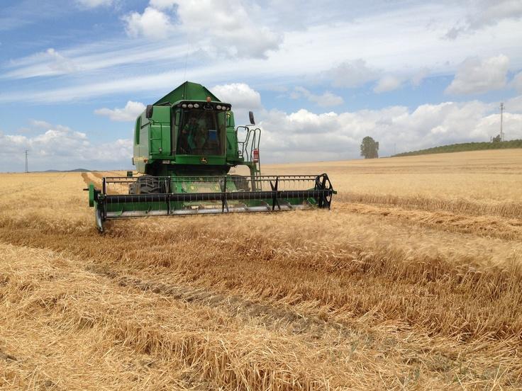 La cosecha del trigo en Córdoba me ha servido para hablar en el blog sobre alimentación y desperdicios.