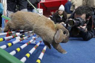 Carreras de obstáculos de conejos