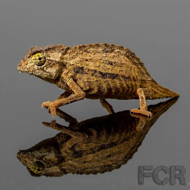 First Choice Reptiles - Bearded Pygmy Chameleon For Sale, $25.00 (http://www.firstchoicereptiles.com/bearded-pygmy-chameleon-for-sale/)