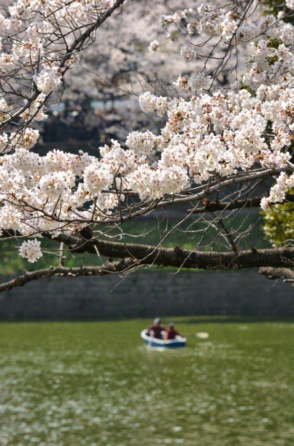 cherry trees in Tokyo (sakura)