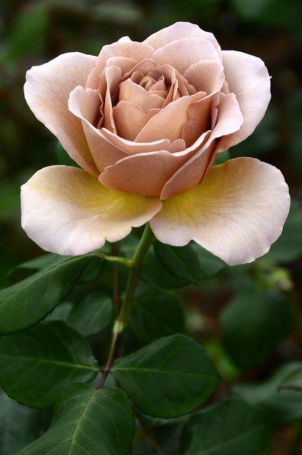 A rose named 'caffè latte' | Flickr - Photo Sharing!