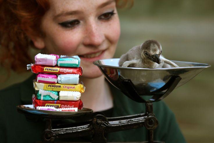 Regno Unito, il cucciolo di pinguino che pesa come 14 biscotti - Radio Deejay