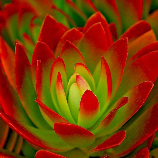 Echeveria, color vivo y combinación perfecta para que nos decore el jardín, balcón o nuestro hogar, me gusta!!!!