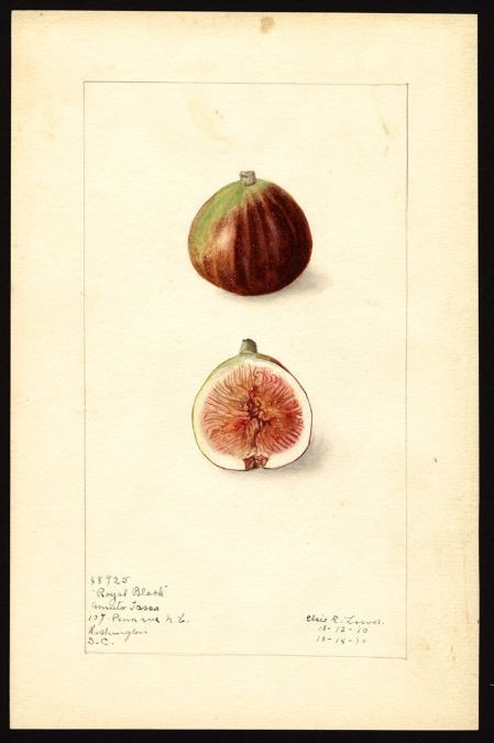 Elsie E Lower (b. 1882), Royal Black Fig from Washington Dc (Scientific name: ficus), drawn 1912.  Notes on original: Mr. Tassa, living at 631 Maryland Ave., S.W. has brown, white, and black fig varieties said to have been brought from Italy in about...