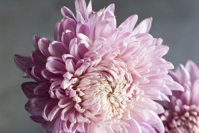 Chrysanthemum Elegant Symbolic Flowers For Autumn Bouquets Sunset Flowers Fall Bouquets Chrysanthemum Bouquet