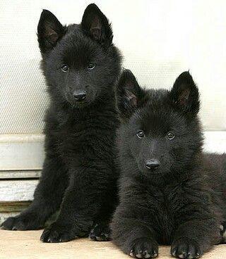 groenendael (one of the four belgian shepherd breeds) pups