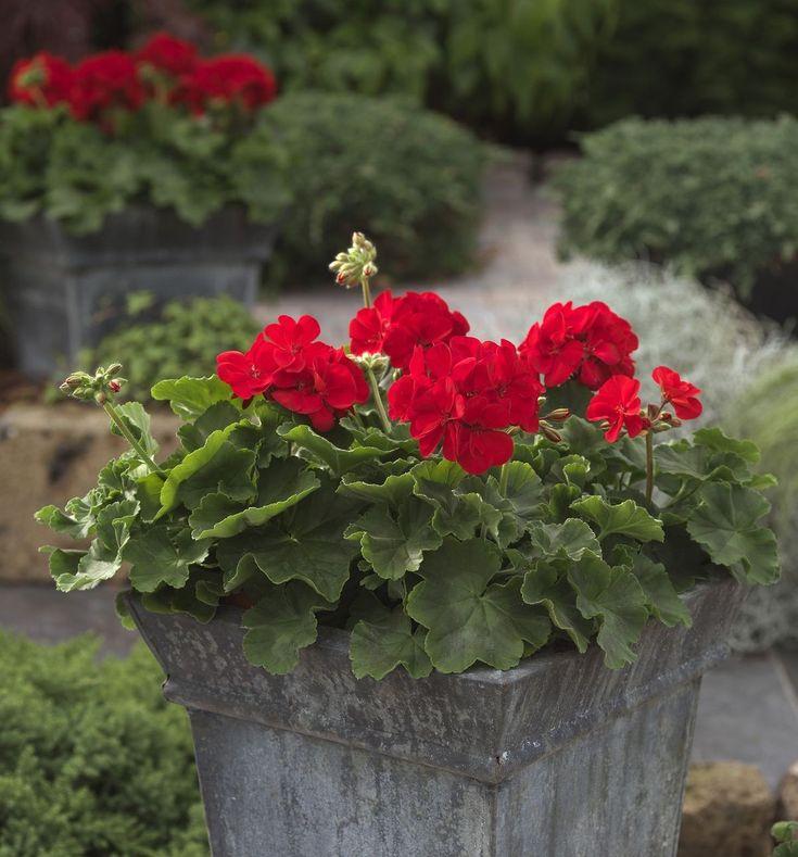 герань фото цветов в саду кляре полить медом