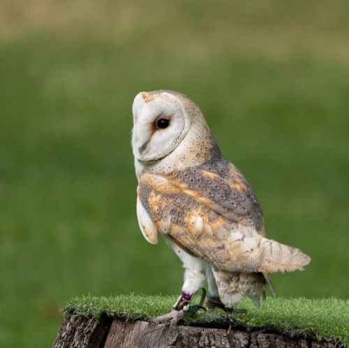 Barn owl  (Tyto alba) London Zoo