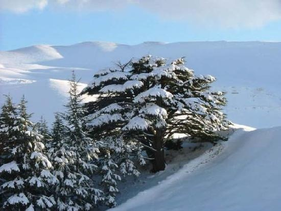 Lebanon's cedars