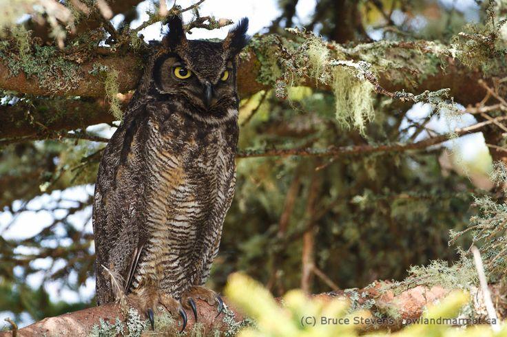 Great Horned Owl, Bon Portage Island, Nova Scotia, Canada