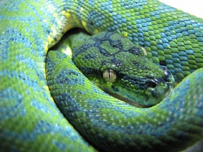 Carpet Python Morph - 75% carpondro produced by pairing a 50% carpondro dam   with a green tree python sire
