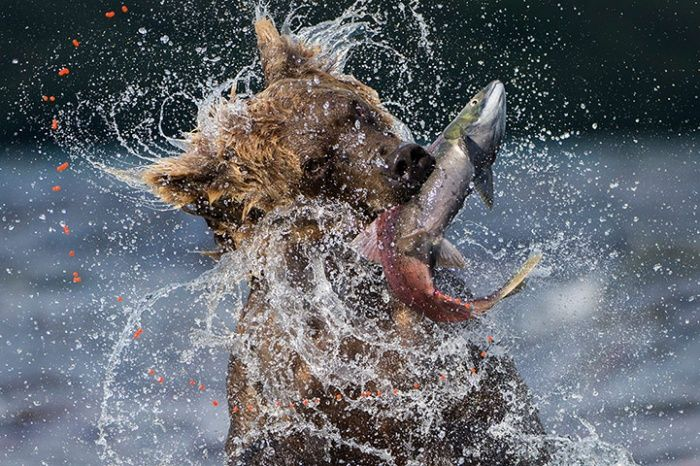 Bear fishing for sockeye salmon. Each year between July and September, millions of sockeye salmon migrate from the Pacific back up rivers to the fresh waters of Lake Kuril, in Russia, to spawn in the waters where they were born. Valter Bernardeschi /2013 WPY