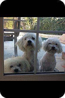 Whittier, CA - Poodle (Miniature)/Maltese Mix. Meet MaltiPoo a Dog for Adoption.