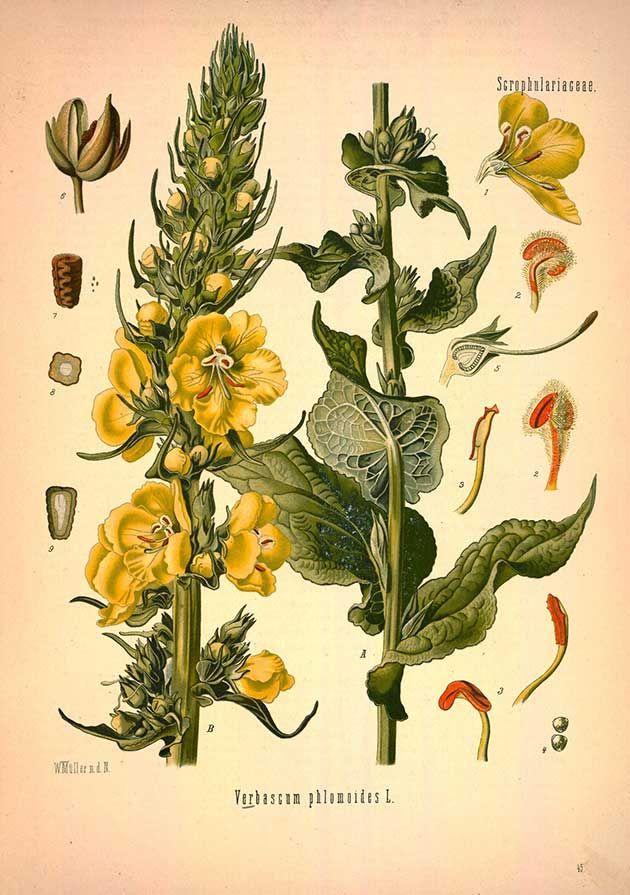 Free botanical medicinal plants art
