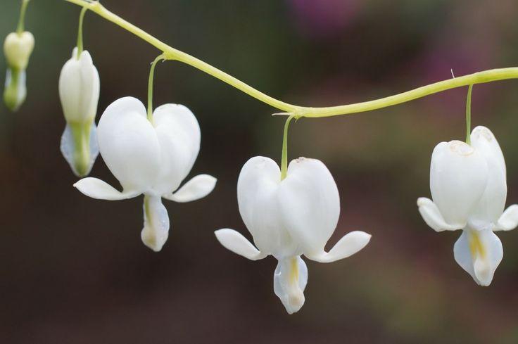 Le Cœur de Marie est une charmante vivace rustique, à fleurs colorées, qui éclaire le jardin au printemps. Découvrez les conseils de nos experts jardin !