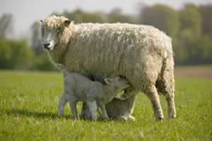 Cotswold Sheep. Cotswold sheep are a breed of domestic sheep originating in the Cotswold hills, England. It is a dual-use breed providing both meat and wool.  Provides long staple, high lustre wool.
