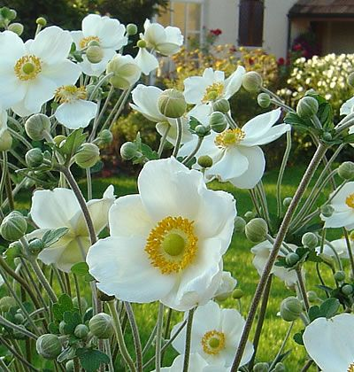 die besten 25 herbstanemone ideen auf pinterest anemone frankfurt nordend und anemonen pflanzen. Black Bedroom Furniture Sets. Home Design Ideas