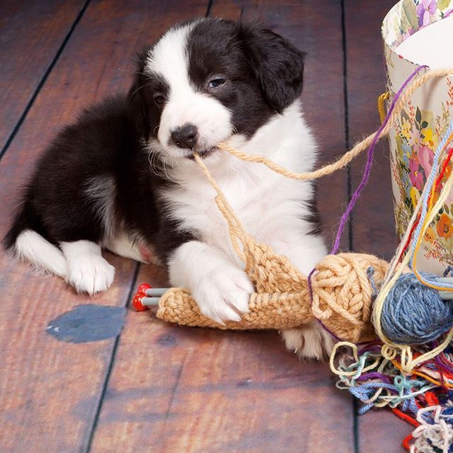 """""""I solemnly swear that I am up to no good."""" #BorderCollie"""