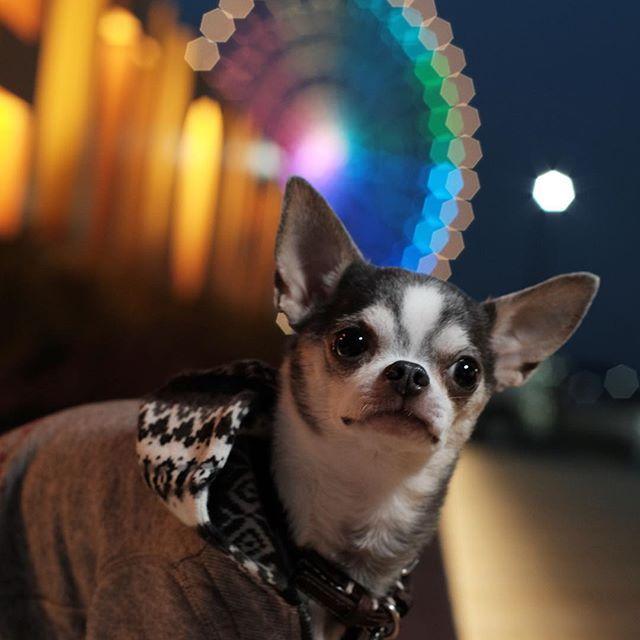 Instagram【manokala】さんの写真をピンしています。 《えっ 2016年あと1日しかないの?? 僕知らなかったよ * *  nikonのオールドレンズ 絞って使うと また違う楽しみがあって 楽しいな〜  #dogstagram #chihuahualover #todayswanko #犬 #chihuahua #スムチー #スムースチワワ #チワワ #dogoftheday #ブルータン#ワンコ #치와와 #ig_dogphoto #IGersJP #east_dog_japan #東京カメラ部 #instagramjapan #pecoいぬ部 #all_dog_japan #観覧車 #夜景 #オールドレンズ #fujifilm_xseries #今日もx日和 #xt10 #ミラーレス》