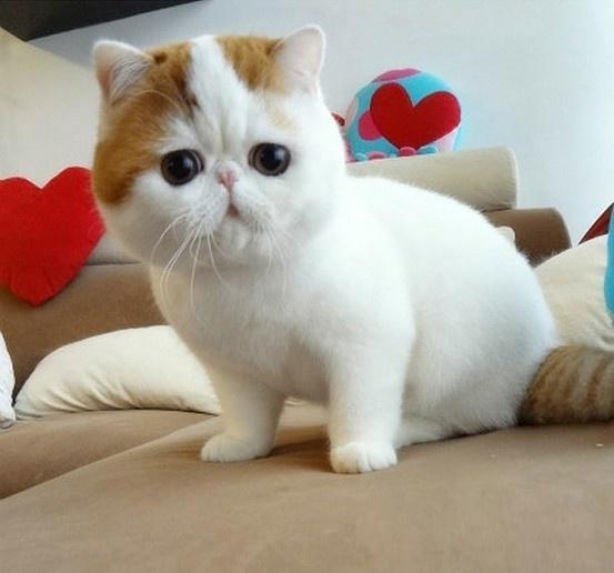 Exotic longhair persian cat