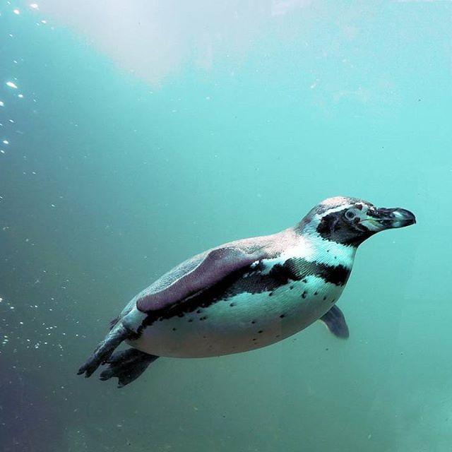 """Os pinguins são aves marinhas conhecidas por não voarem (Ordem Sphenisciformes). Mas, assim como as aves voadoras, eles possuem músculos peitorais grandes que são utilizados para """"voar"""" na água. Isto é, conforme eles nadam, eles batem as asas (que parecem nadadeiras) de forma similar a uma batida de asa no ar. As aves são vertebrados que possuem o corpo recoberto por penas, que constituem um eficiente isolante para manter constante a temperatura corporal. #BiologiaTotal #ProfJubilut  Foto…"""