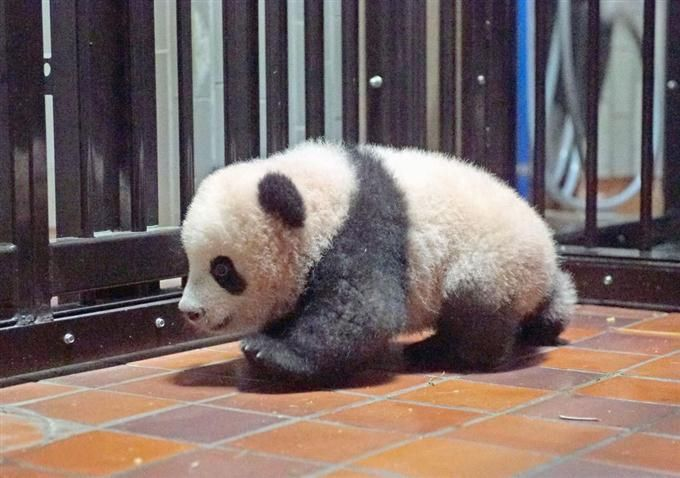 産室内で歩くシャンシャン=20日、東京・上野動物園(東京動物園協会提供)