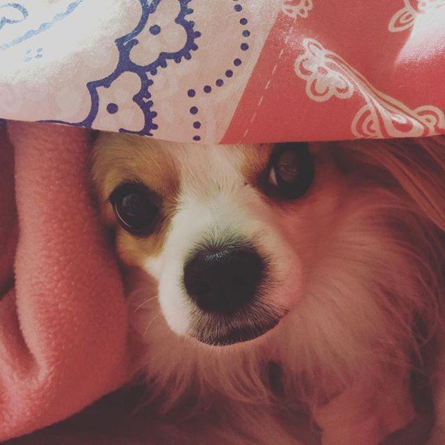 おはようございます🌞 魔物が布団に潜り込んでくるので、朝が起きるのが辛くなりました(笑) あー❤️ぬくい❤️ #いぬすたぐらむ #dogstagram #パピヨン #チワワ  #ミックス  #犬  #パピチワ #チワパピ  #スイカ #わんこ #すいか #犬バカ #パピヨンラブ #スムチー  #うちのわんこ #愛犬 #犬バカ #大好きわんこ #chihuahua #Papillon #dog