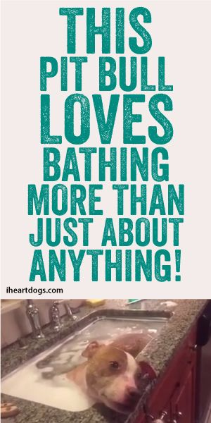 This Pit Bull Loves Bathing More Than Just About Anything!!