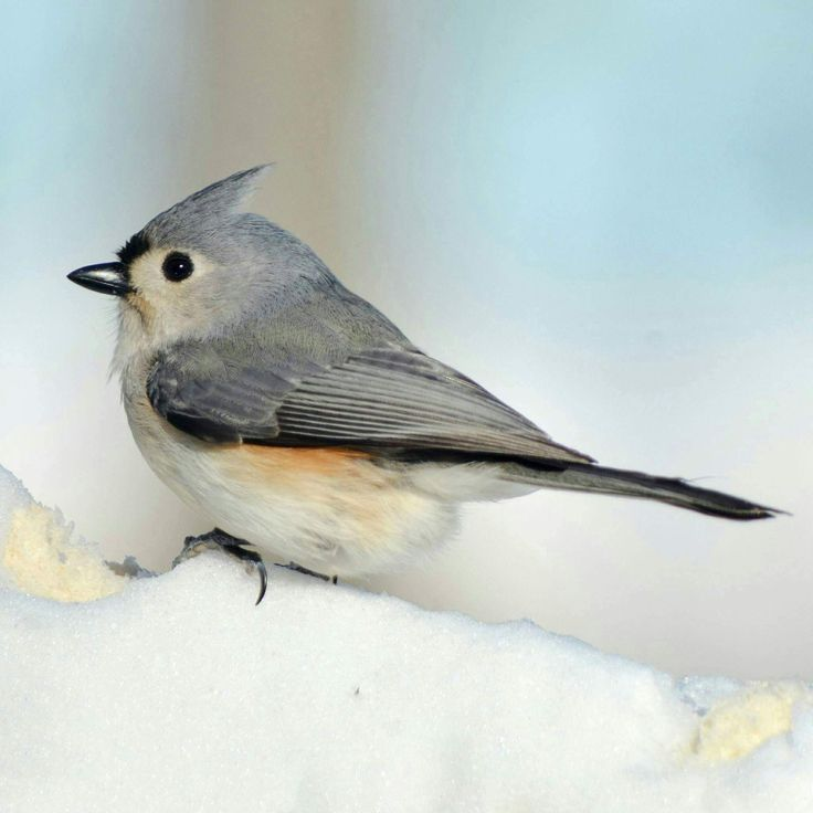 "yourstrulyfranca: "" angel-kiyoss: "" Tufted Titmouse. "" """