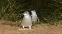 Phillip Island Penguin Small Group Eco Tour from Melbourne, Melbourne