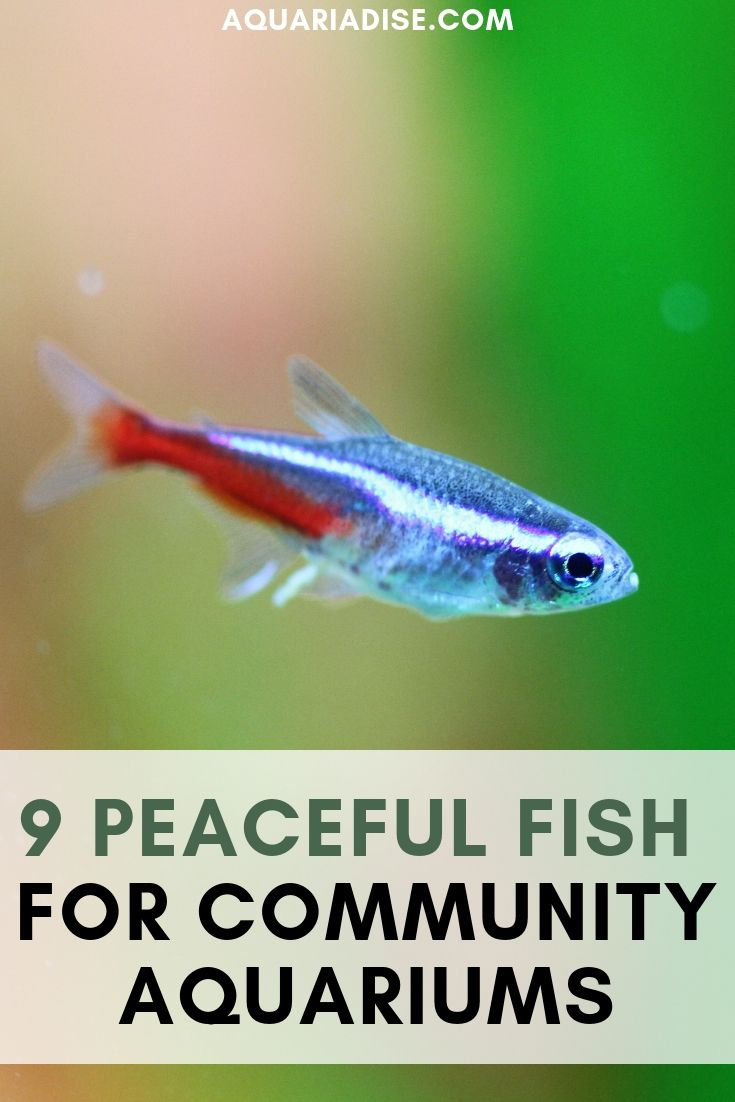 9 Peaceful Community Fish Prevent Fish Agression Tropical Fish Aquarium Community Fish Tank Aquarium Fish