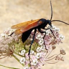 This is a tarantula hawk, a large wasp famous for hunting and killing huge tarantula spiders. For more about this species and a battle video, see: http://www.infobarrel.com/Epic_Battle_Tarantula_Spiders_vs_Tarantula_Hawk_Wasps